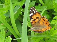 オレンジの蝶 ヒメアカタテハ