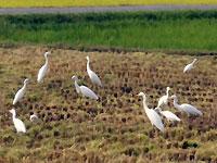 稲刈りとサギ風景