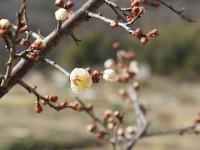 梅の花咲き始め|日進市岩崎町炊竹田