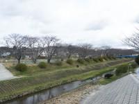 岩崎側の桜並木