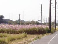 愛知県日進市|田んぼに現れるコスモス畑