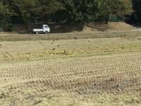 稲刈りの終わった田んぼにカラス