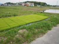 稲の苗の絨毯