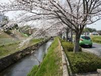 お花見折戸川