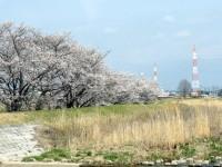 天白川の桜並木