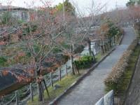 桜並木の散歩道