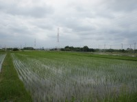 野方町の田んぼ