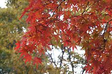 岡崎東公園1500本の紅葉・もじみ・カエデ