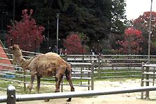 岡崎東動物園のひとこぶラクダ