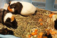 岡崎東動物園 ふれあい広場のモルモット