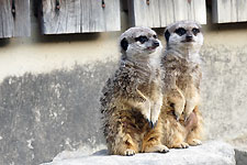 岡崎東動物園 ミーアキャット